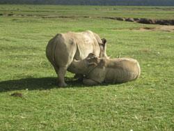 Увидеть кормление «младенца» носорога редкая удача.