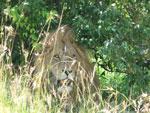 Семь львиц на охоте
