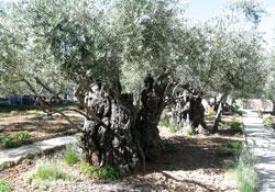 Оливы Гефсиманского сада. Фото Б. Вайнблата