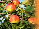 Расцветали яблони и груши