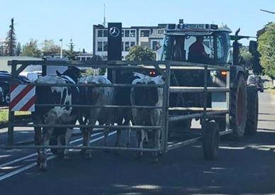 коровы в передвижном загоне