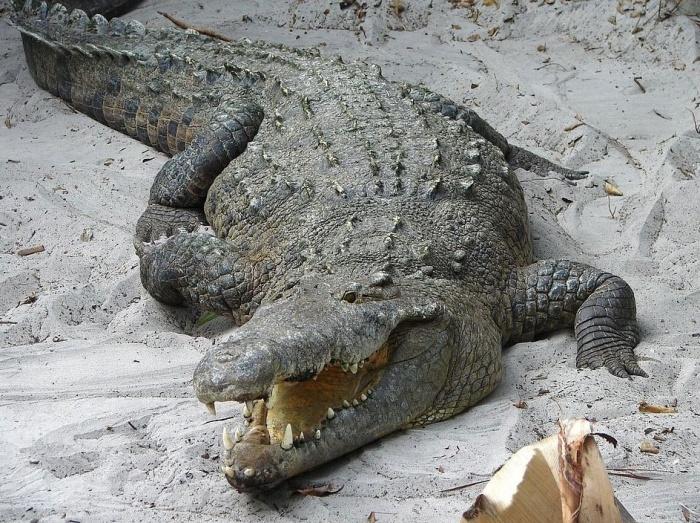 крокодил с разинутой пастью